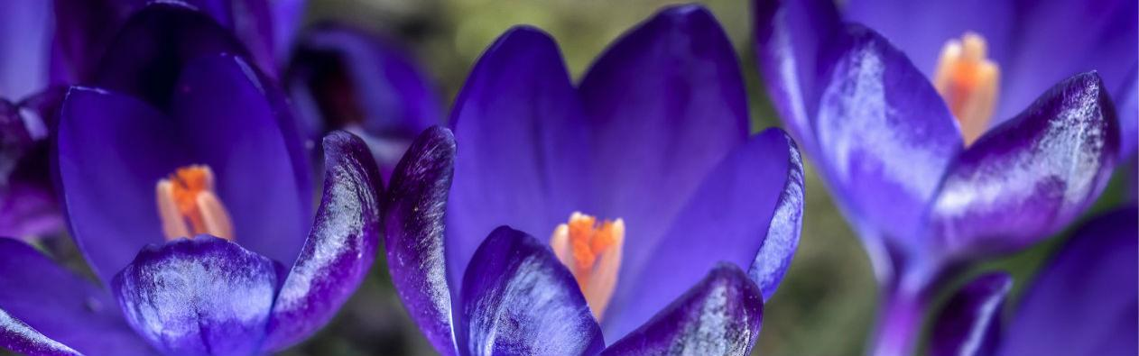 Crocus in the spring.